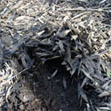 Melaleuca leaf litter contributes to fires